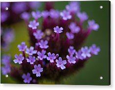 tiny blossoms II Acrylic Print