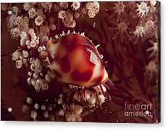 Tiny Cowrie Shell On Dendronephtya Soft Acrylic Print by Mathieu Meur