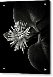 Tiny Ice Plant In Black And White Acrylic Print