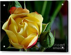 Tiny Rose Acrylic Print by Adrian LaRoque