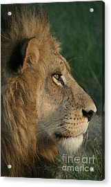Tired Lion Acrylic Print by Carol Wright
