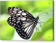 Tirumala Ishmoides Butterfly Acrylic Print by Lars Ruecker