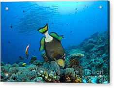 Titan Triggerfish Picking At Coral Acrylic Print by Steve Jones