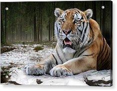 TJ  Acrylic Print by Big Cat Rescue