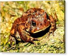 Acrylic Print featuring the photograph Toad by Joe  Ng