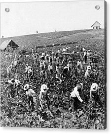 Tobacco Field In Montpelier - Jamaica - C 1900 Acrylic Print