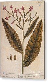 Tobacco, Nicotiana Tabacum Acrylic Print by Science Source