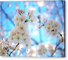 Tokyo, Sakura Acrylic Print by Takahiro Yamamoto
