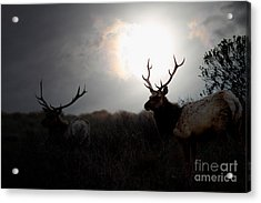 Tomales Bay California Tule Elks At Sunrise . 7d4402 Acrylic Print by Wingsdomain Art and Photography