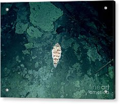 Tongue Fish In Hydrothermal Area Acrylic Print