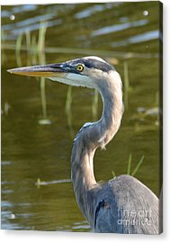 Too Close For Comfort Acrylic Print by Carol  Bradley