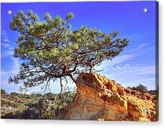 Torrey Pine Acrylic Print by Jeffery Reynolds