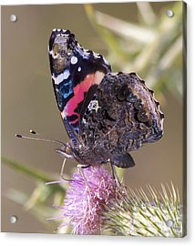 Tortoise Butterfly Folded Acrylic Print by Tracey Levine