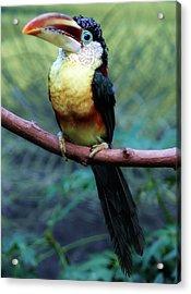 Toucan Acrylic Print by Paulette Thomas