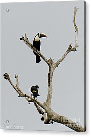 Toucans In The Trees Acrylic Print