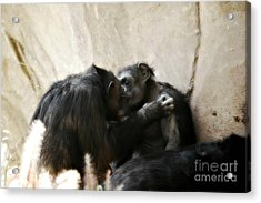 Touching Moment Gorillas Kissing Acrylic Print by Peggy Franz
