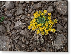 Tough Enough Acrylic Print