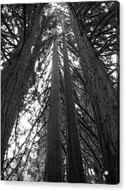 Towering Giants Acrylic Print