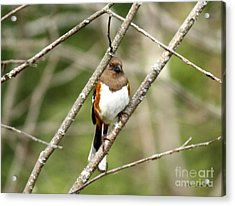 Towhee Female Acrylic Print by Yumi Johnson