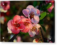 Acrylic Print featuring the photograph Toyo Nishiki Quince by Kathryn Meyer