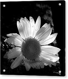 Acrylic Print featuring the photograph Translucent Daisy by Cindy Haggerty