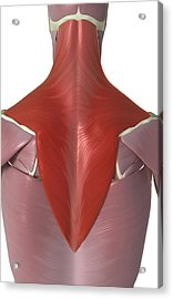 Trapezius Muscle Acrylic Print by MedicalRF.com