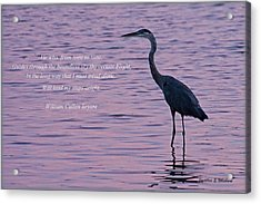Treading Alone   Great Blue Heron  Acrylic Print by Jonathan Whichard