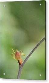 Tree Bud Acrylic Print by Peg Toliver