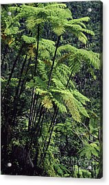 Tree Ferns El Yunque Acrylic Print by Thomas R Fletcher