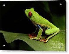 Tree Frog 14 Acrylic Print by Bob Christopher