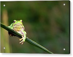 Tree Frog Acrylic Print by Aaa