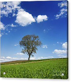 Tree In A French Landscape Acrylic Print by Bernard Jaubert