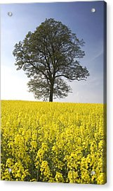 Tree In A Rapeseed Field, Yorkshire Acrylic Print by John Short