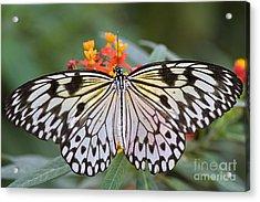 Tree Nymph Butterfly Acrylic Print by Jacky Parker