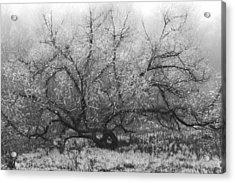Tree Of Enchantment Acrylic Print by Debra and Dave Vanderlaan