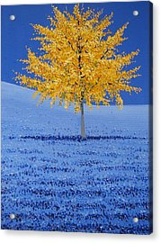Tree Of Gold Acrylic Print by Shawn Hughes