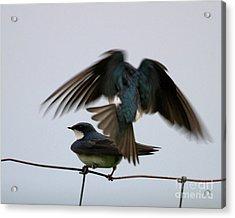 Tree Swallows Courtship Acrylic Print