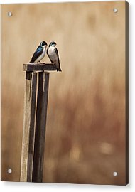 Tree Swallows On Wood Post Acrylic Print by Jody Trappe Photography