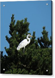 Treed Acrylic Print by Chris Anderson