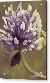 Trefle En Solo S03b Acrylic Print by Variance Collections