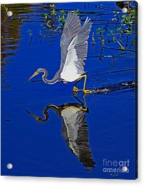 Acrylic Print featuring the photograph Tri-color Heron Water Ski by Larry Nieland
