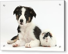 Tricolor Border Collie Pup And Guinea Acrylic Print by Mark Taylor