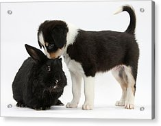 Tricolor Border Collie Pup With Black Acrylic Print by Mark Taylor