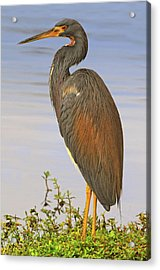 Tricolor Heron Acrylic Print by Dave Mills