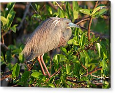 Acrylic Print featuring the photograph Tricolor Heron by Jennifer Zelik