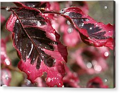 Tricolor Maple Acrylic Print by Margaret Steinmeyer