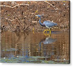 Tricolored Heron In The Winter Marsh Acrylic Print by Louise Heusinkveld