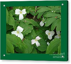 Trilliums-i Acrylic Print by Patricia Overmoyer
