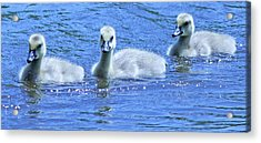 Trio Of Baby Geese Acrylic Print by Becky Lodes