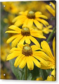 Trio Of Yellow Flowers Acrylic Print by Becky Lodes